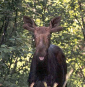 Moose Photo by K.S. Brooks
