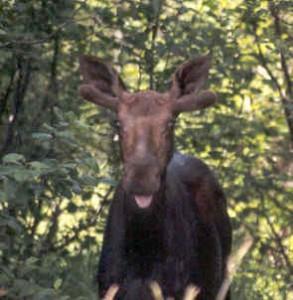 Moose Photo by K.S. Brooks