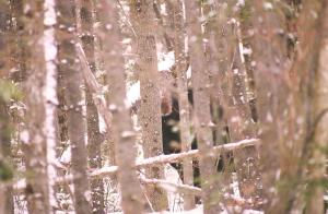 peeping moose maine 1997