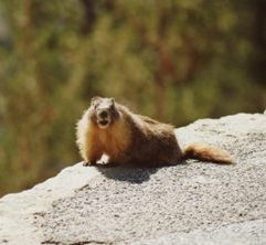 Yosemite hoary marmot by K.S. Brooks