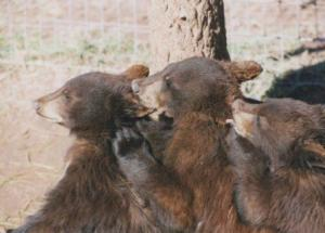 bear cub ear grooming SD 1995