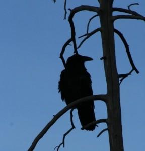 yellowstone raven 102008