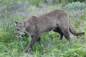 Cougar Copyright KSBrooks IMG_0446