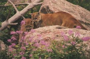 st felicien cougars 1998