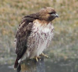 hawk at cattle ranch
