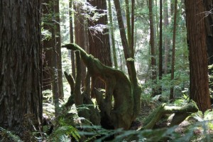 Flash Fiction Prompt copyright KS Brooks all rights reserved 2014 May Day 3 Armstrong Redwood Dino Tree Flash Fiction Prompt
