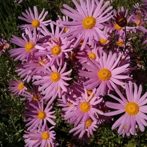 Pink Daisies Flash fiction writing prompt Sept 2015 all right reserved KSBRooks