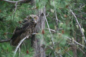 Flash fiction writing prompt copyright KS Brooks great horned owl 081713