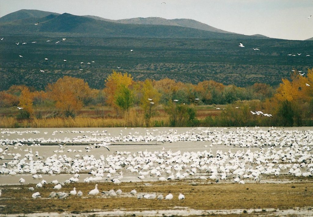 bosque del apache migrationl 1998