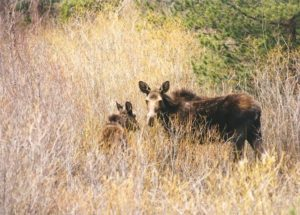 colorado mommy moose flash fiction prompt copyright ksbrooks