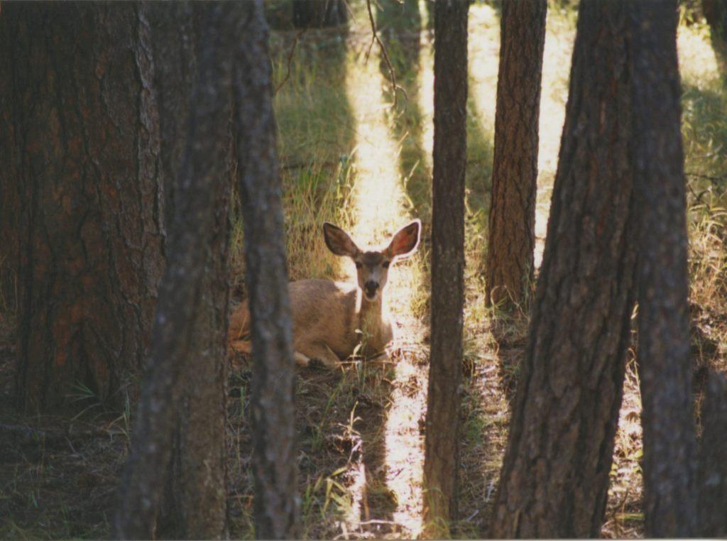 deer-near-center-lake-black-hills-sd-1995-flash-fiction-ksbrooks-copyright