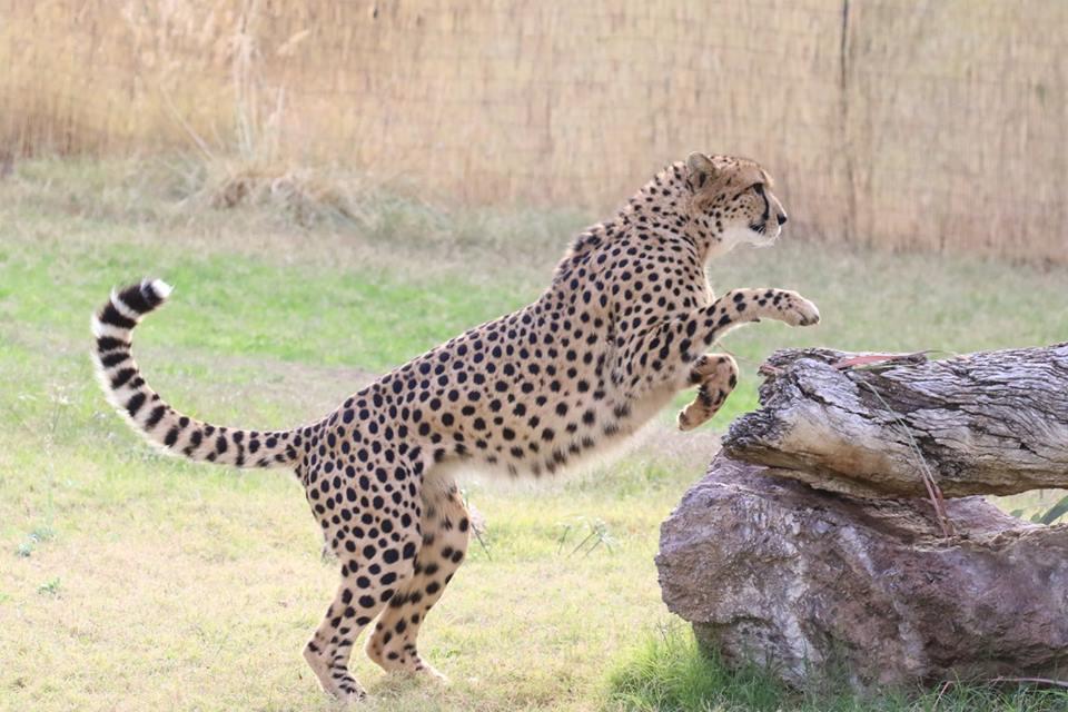 phoenix zoo cheetah 2017 flash fiction writing prompt copyright KSBrooks