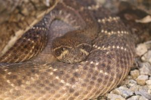 sonoran desert museum snake copyright KS Brooks