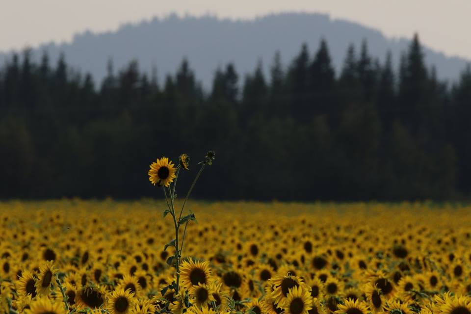 sunflowers flash fiction writing prompt copyright KSBrooks