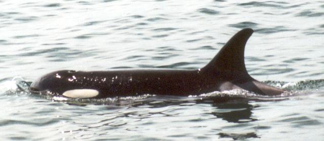 washington state orca june 2001.jpg