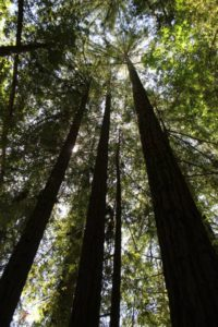 2014 May Day 3 Armstrong Redwoods Flash Fiction Prompt