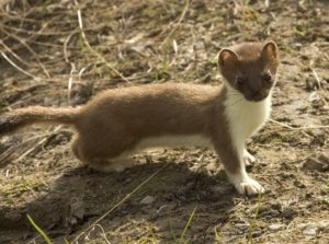 weasel words short-tailed-weasel-86619_960_720