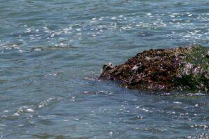 2014 May Day 3 Goat Rock Seal peekaboo Flash Fiction Prompt