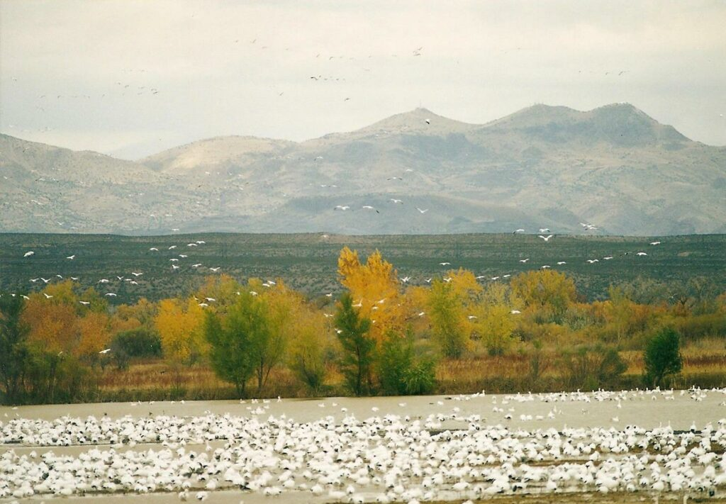 flash fiction prompt snow geese 2 bosque del apache 1998