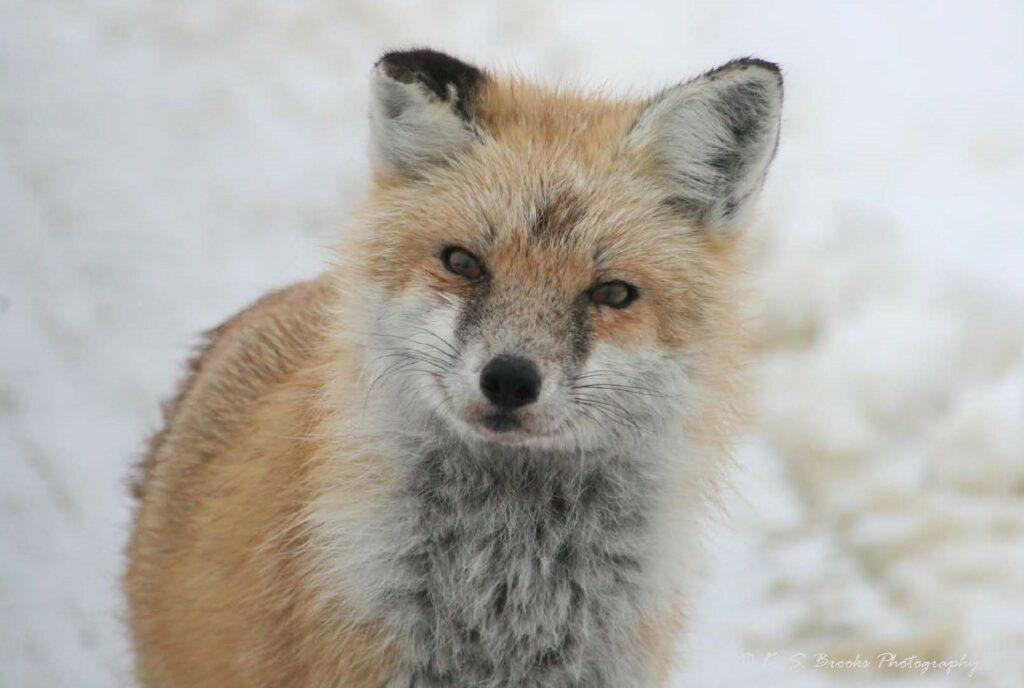 flash fiction prompt fox copyright ks brooks