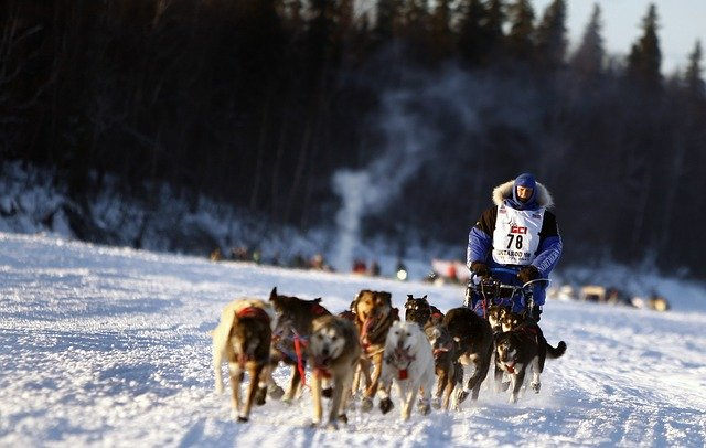 iditarod dogs-671165_640 courtesy of pixabay.com