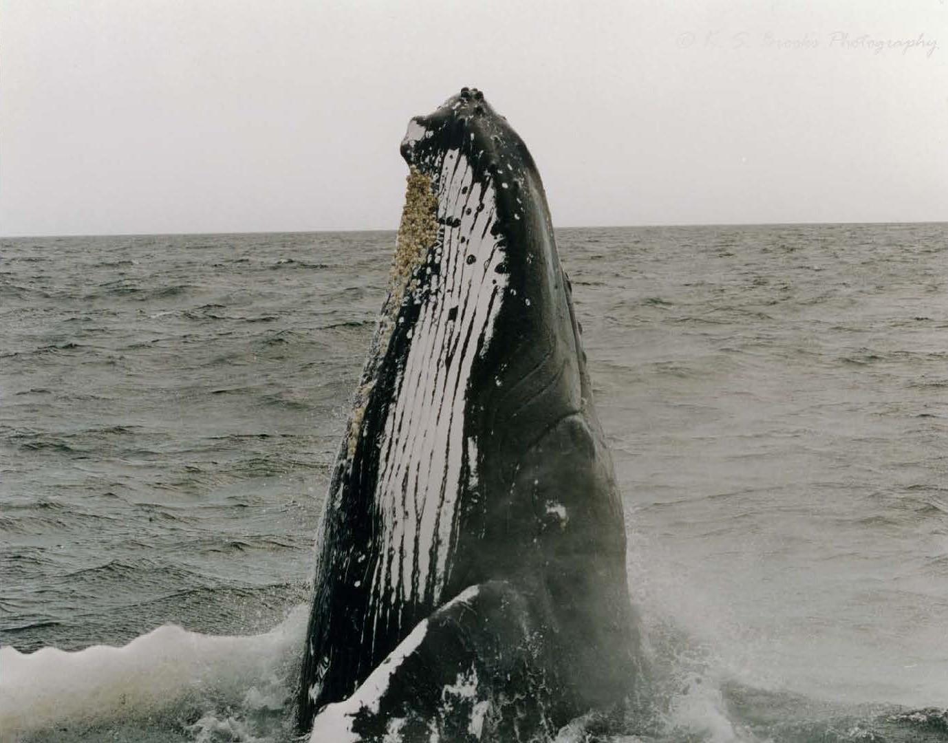 flash fiction prompt humpback whale copyright KS Brooks